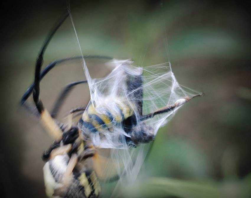 Golden Garden Spider trapping a bee