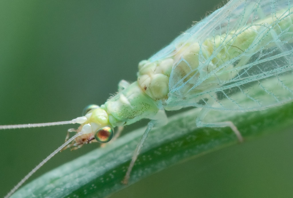 green lacewing detail