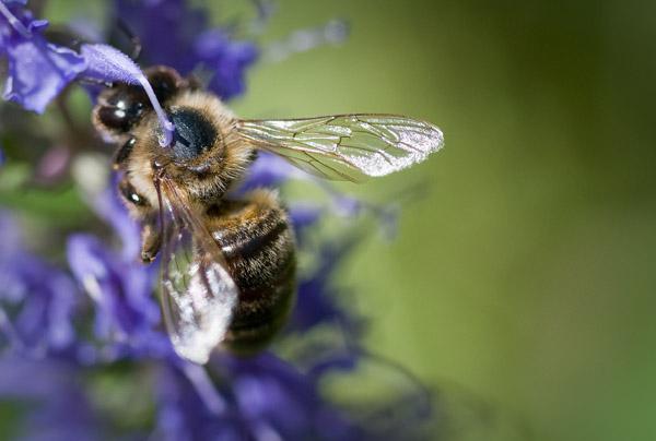 Saliva pollination