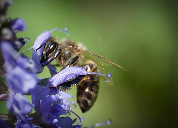 Salvia Pollination